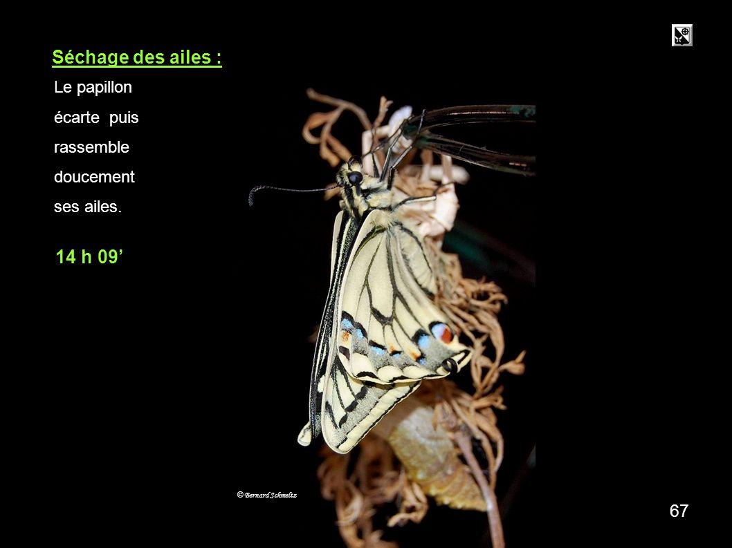 9 mn Séchage des ailes : 14 h 09' 67 Le papillon écarte puis rassemble