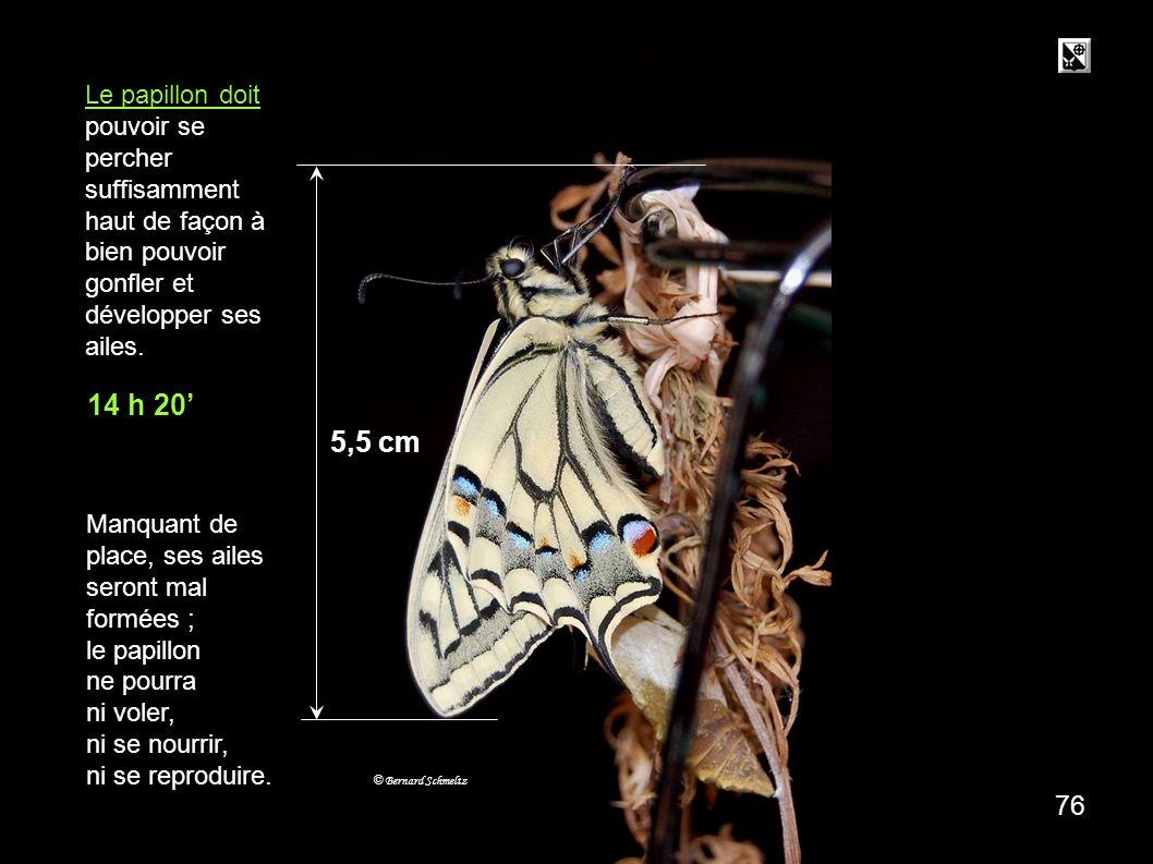 20 mn 5,5 cm Le papillon doit pouvoir se percher suffisamment haut de façon à bien pouvoir gonfler et développer ses ailes.