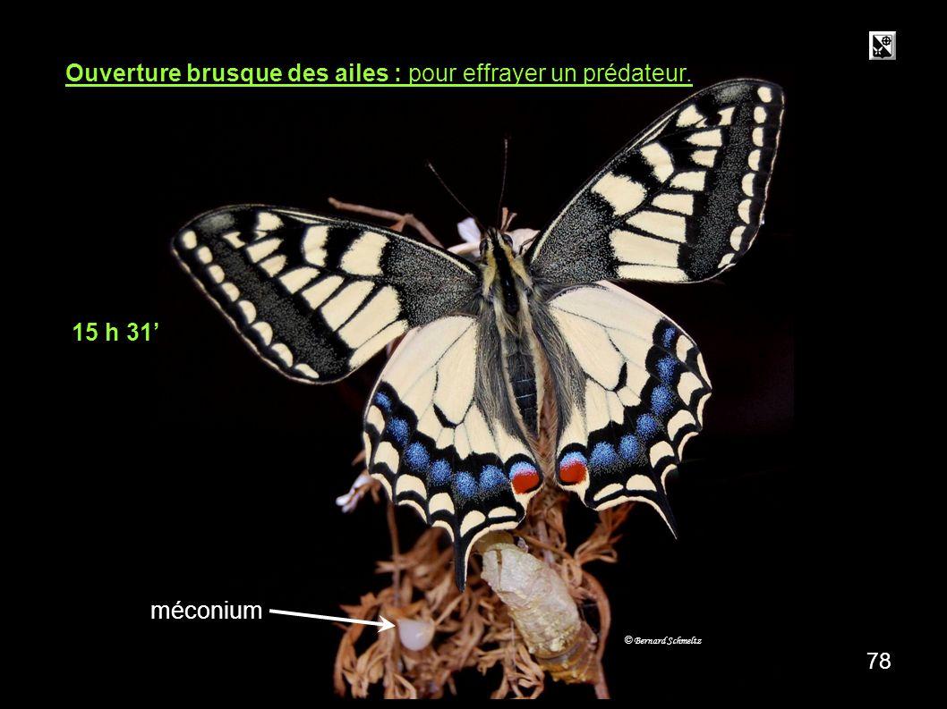 méconium Ouverture brusque des ailes : pour effrayer un prédateur.