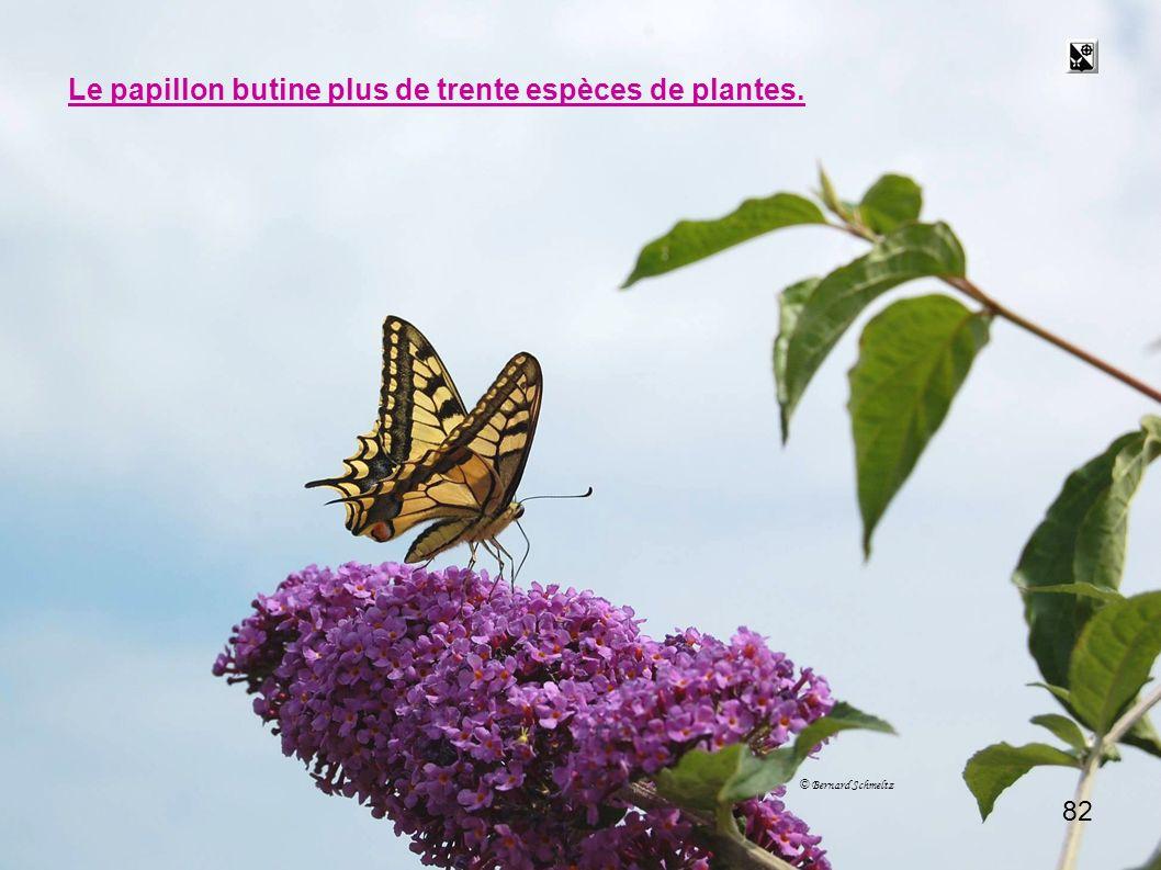 butiner Le papillon butine plus de trente espèces de plantes. 82 82
