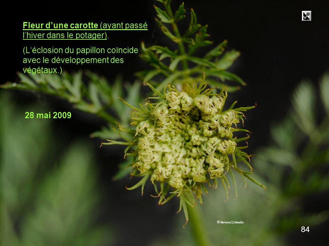 Fleur de carotte Fleur d'une carotte (ayant passé l'hiver dans le potager). (L'éclosion du papillon coïncide avec le développement des végétaux.)