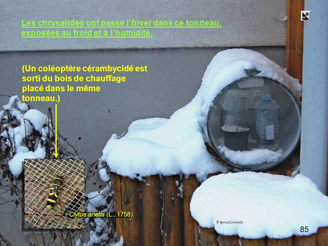 Tonneau 2 Les chrysalides ont passé l'hiver dans ce tonneau,