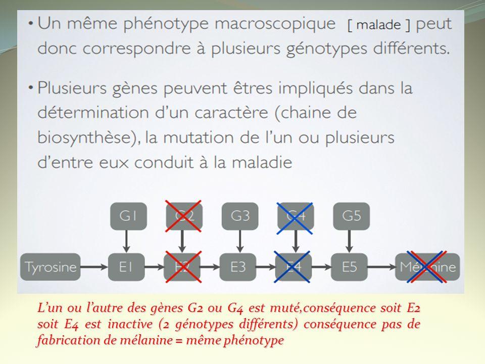L'un ou l'autre des gènes G2 ou G4 est muté,conséquence soit E2 soit E4 est inactive (2 génotypes différents) conséquence pas de fabrication de mélanine = même phénotype