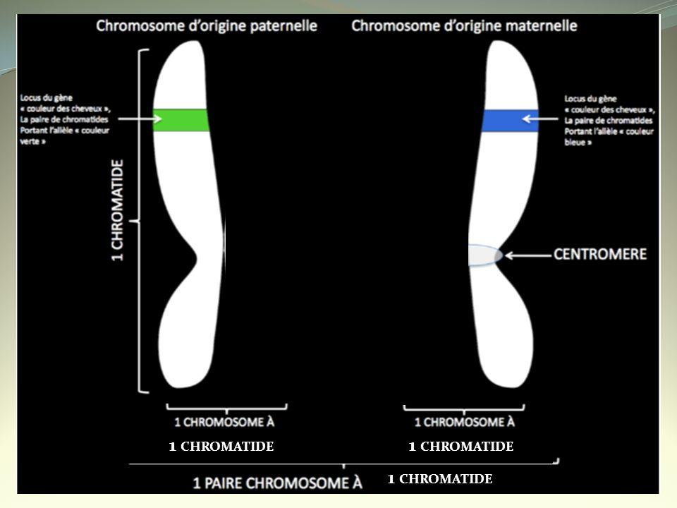 1 CHROMATIDE 1 CHROMATIDE 1 CHROMATIDE