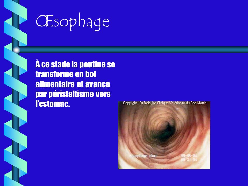 Œsophage À ce stade la poutine se transforme en bol alimentaire et avance par péristaltisme vers l'estomac.