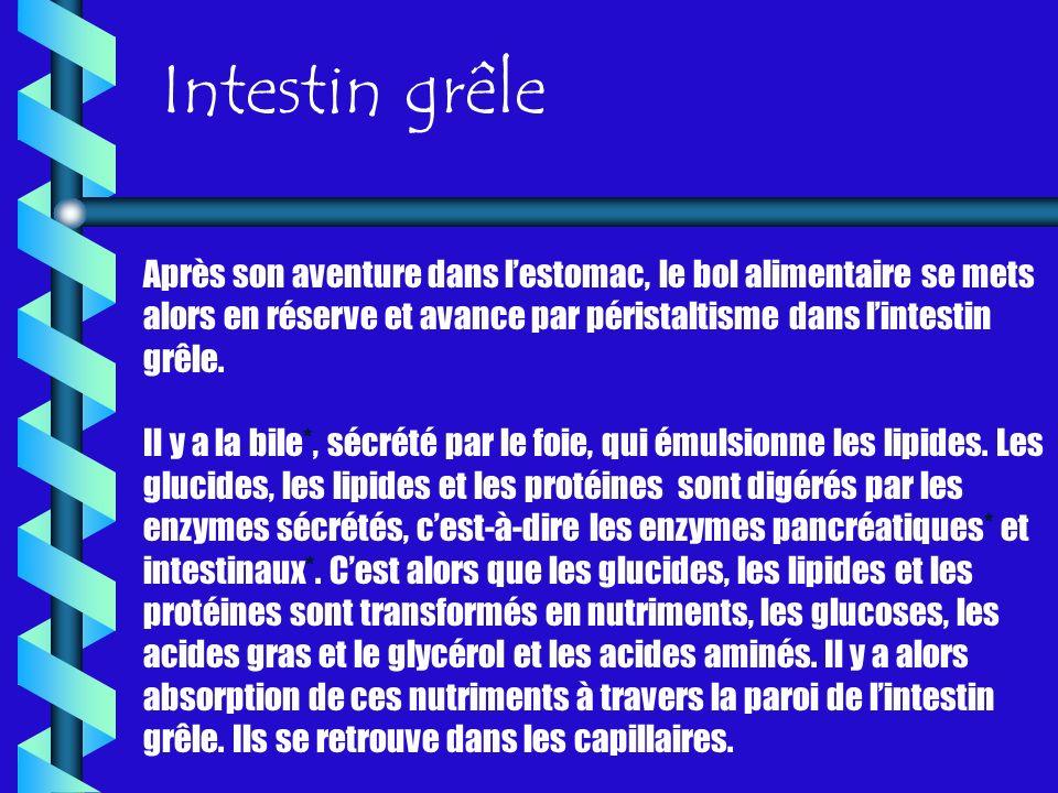 Intestin grêle Après son aventure dans l'estomac, le bol alimentaire se mets alors en réserve et avance par péristaltisme dans l'intestin grêle.