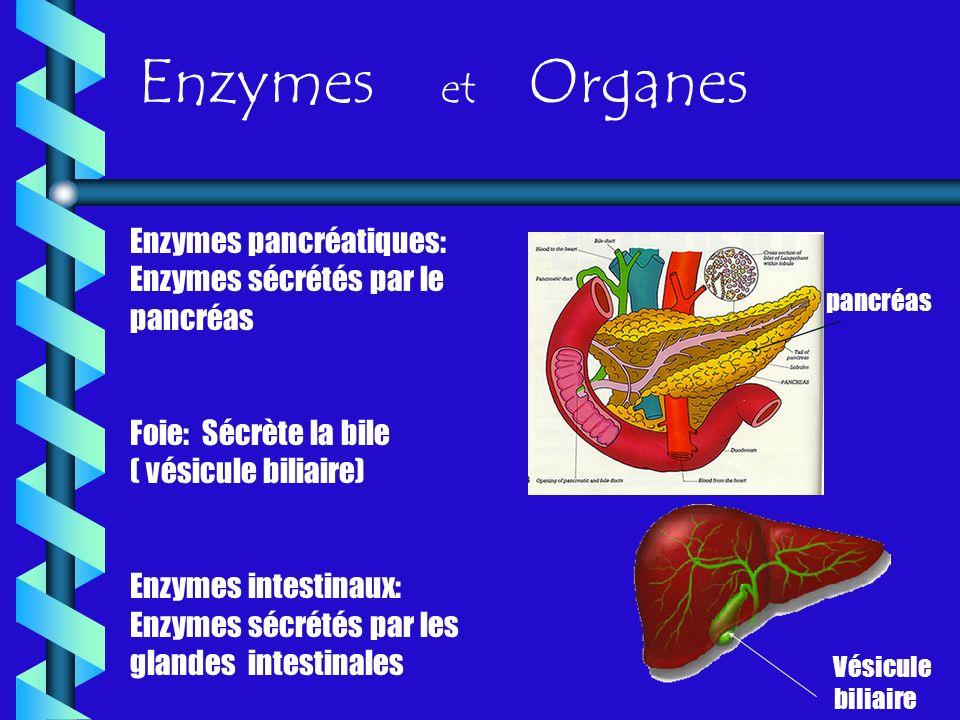 Enzymes et Organes Enzymes pancréatiques: