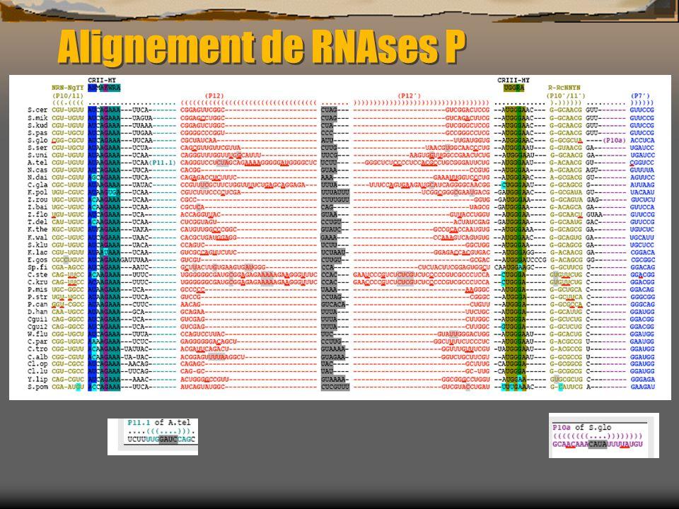 Alignement de RNAses P