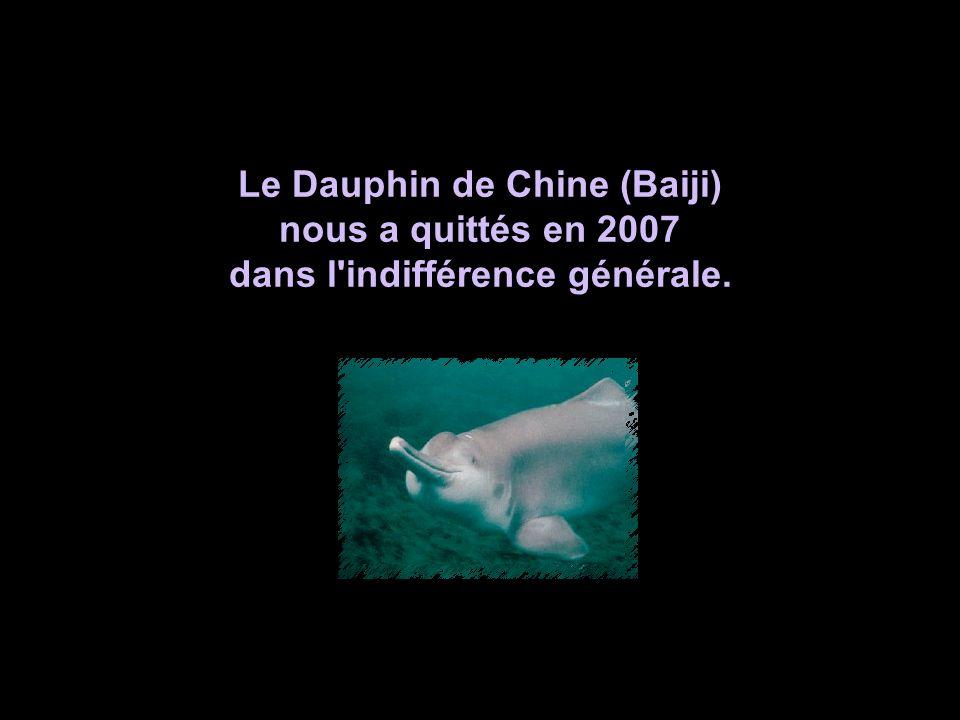 Le Dauphin de Chine (Baiji) dans l indifférence générale.