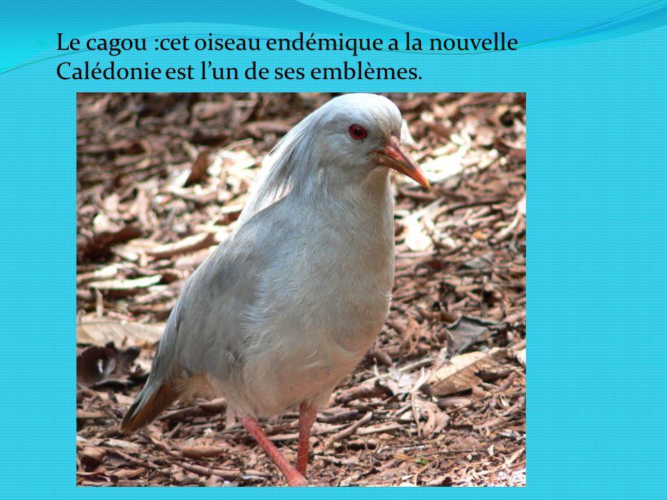 Le cagou :cet oiseau endémique a la nouvelle Calédonie est l'un de ses emblèmes.