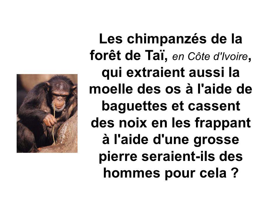Les chimpanzés de la forêt de Taï, en Côte d Ivoire, qui extraient aussi la moelle des os à l aide de baguettes et cassent des noix en les frappant à l aide d une grosse pierre seraient-ils des hommes pour cela