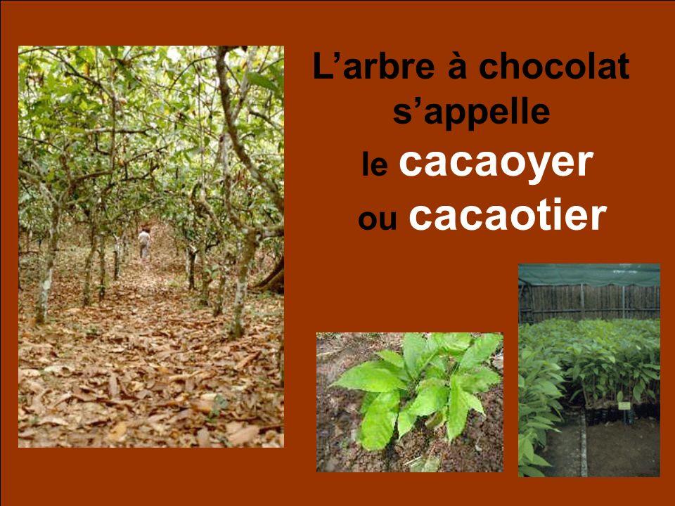 L'arbre à chocolat s'appelle