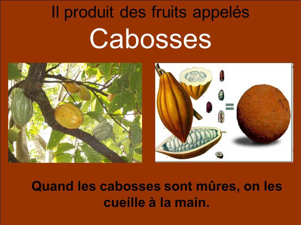 Il produit des fruits appelés Cabosses