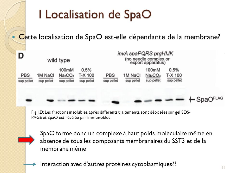 I Localisation de SpaO Cette localisation de SpaO est-elle dépendante de la membrane