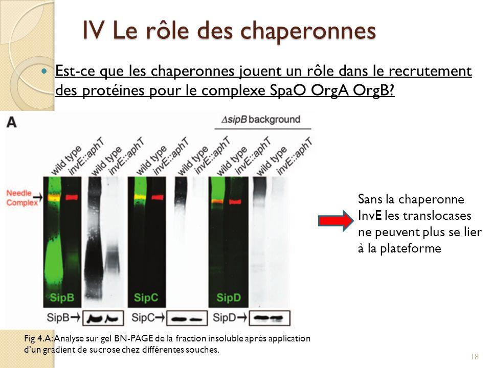 IV Le rôle des chaperonnes