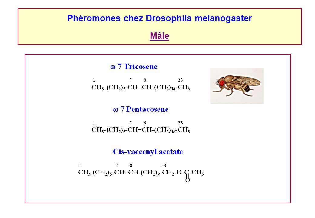 Phéromones chez Drosophila melanogaster Mâle