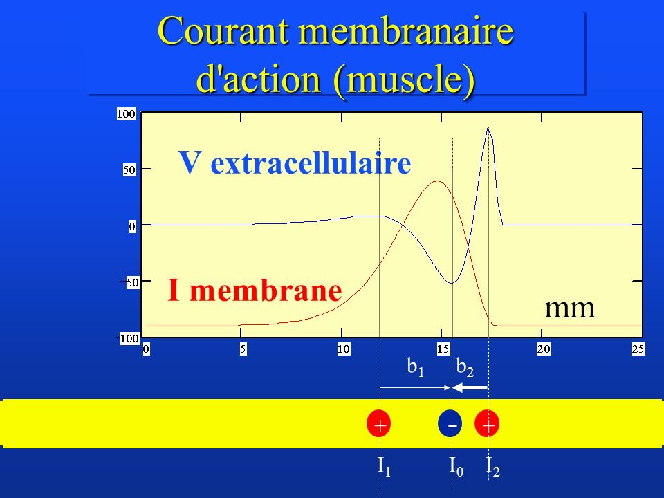 Courant membranaire d action (muscle)