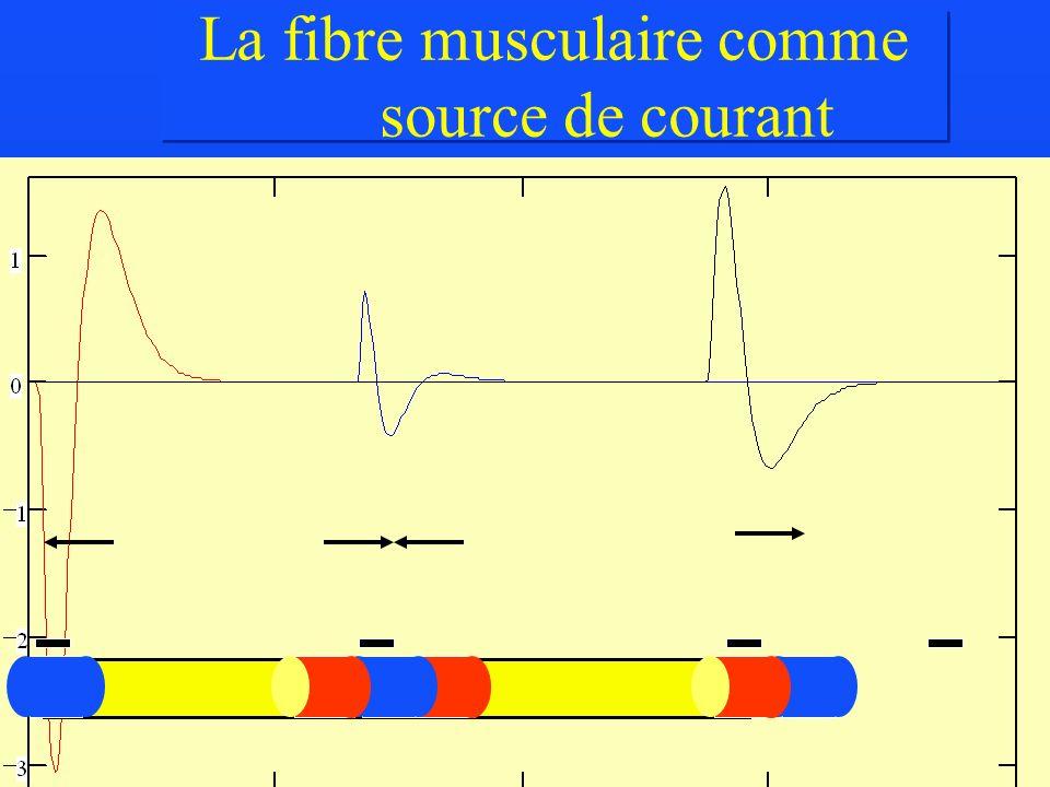 La fibre musculaire comme source de courant
