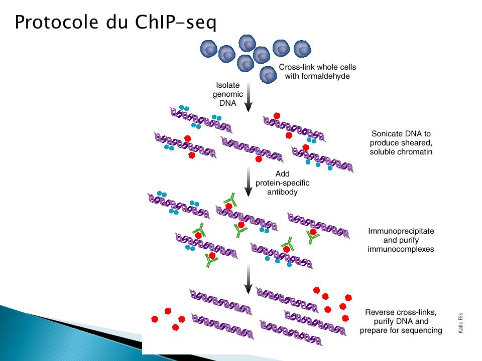 Protocole du ChIP-seq