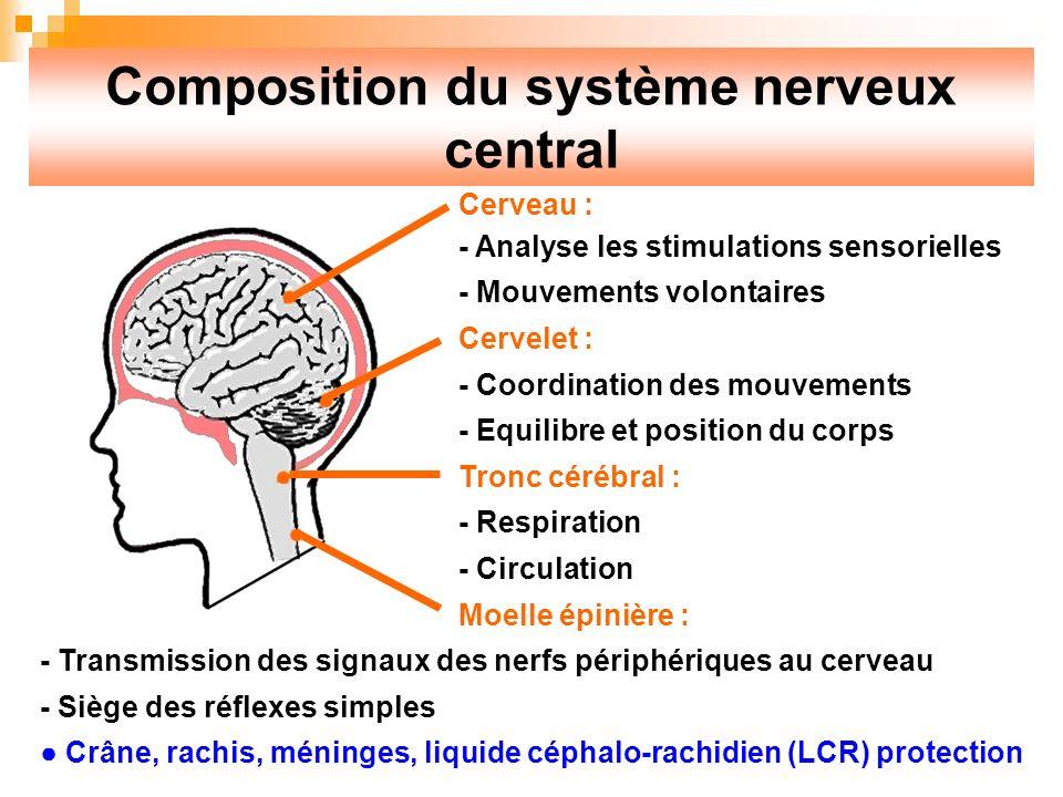 Composition du système nerveux central