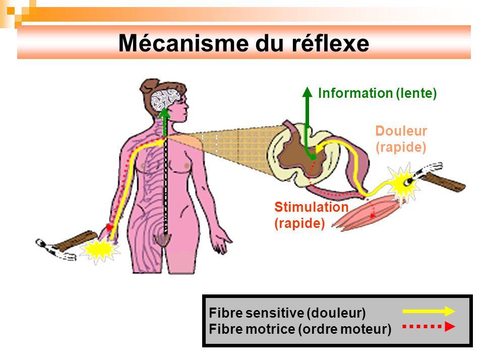 Mécanisme du réflexe Information (lente) Douleur (rapide) Stimulation