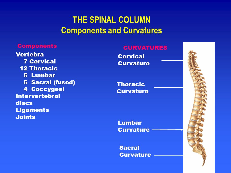 THE SPINAL COLUMN Components and Curvatures