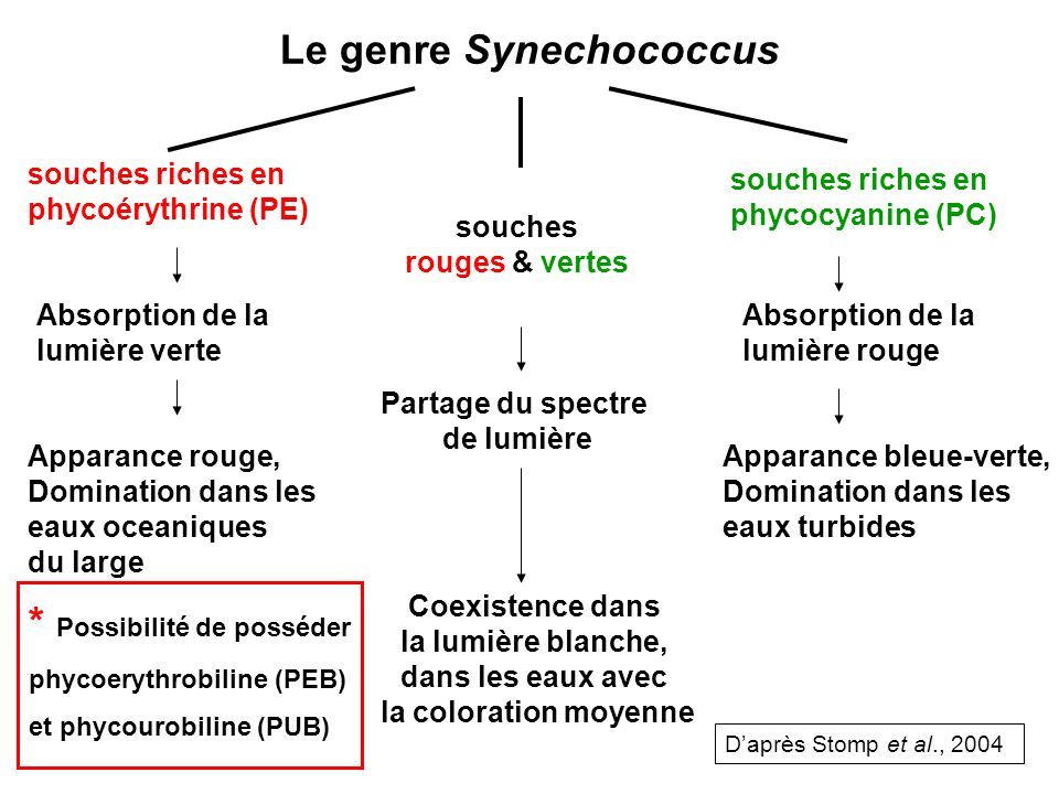 Le genre Synechococcus