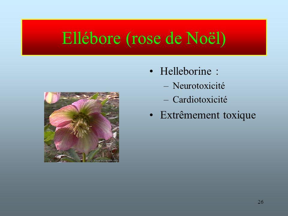 Ellébore (rose de Noël)