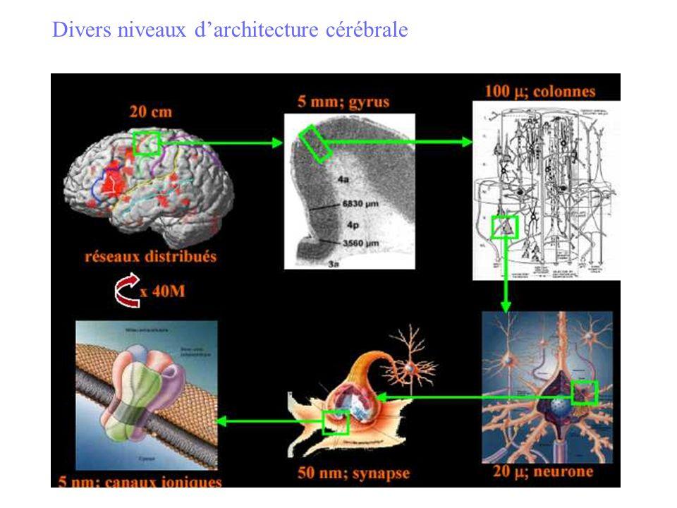 Divers niveaux d'architecture cérébrale