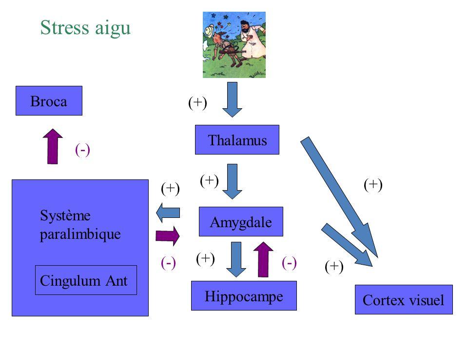 Stress aigu Broca (+) Thalamus (-) (+) (+) (+) Système paralimbique