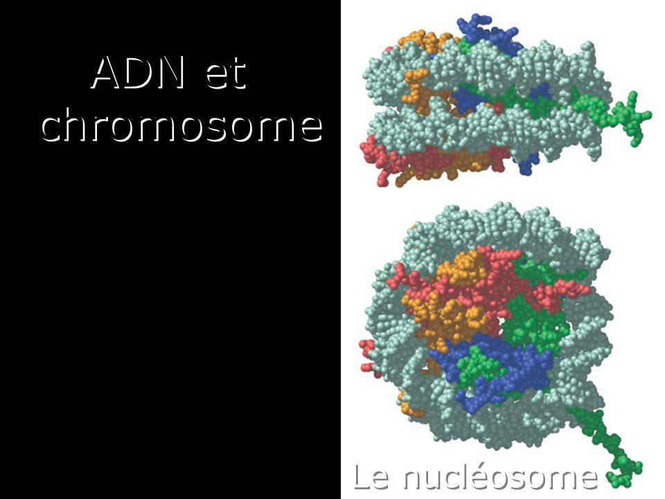 Lundi 10 décembre 2007 ADN et chromosome Le nucléosome