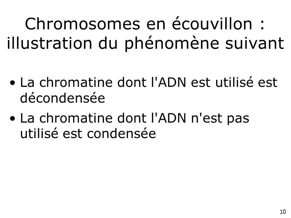 Chromosomes en écouvillon : illustration du phénomène suivant