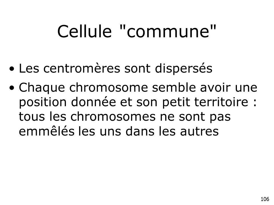 Cellule commune Les centromères sont dispersés