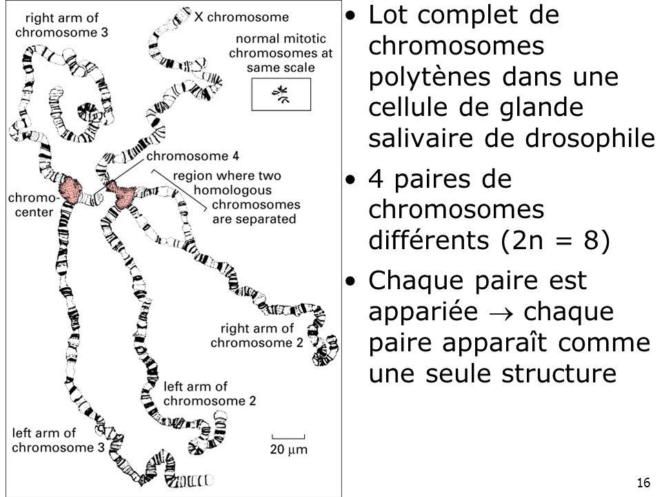 Lot complet de chromosomes polytènes dans une cellule de glande salivaire de drosophile