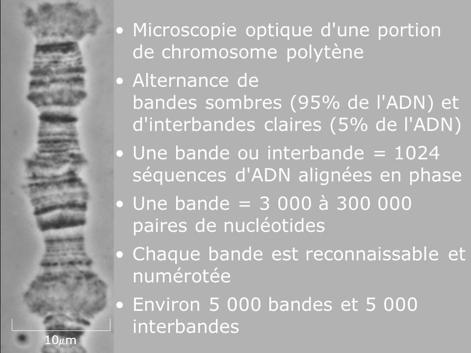 Fig 4-39 Microscopie optique d une portion de chromosome polytène