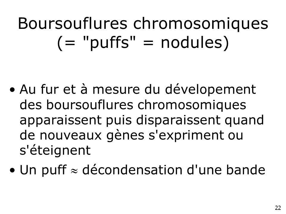 Boursouflures chromosomiques (= puffs = nodules)