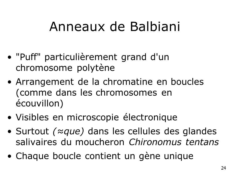 Anneaux de Balbiani Puff particulièrement grand d un chromosome polytène.