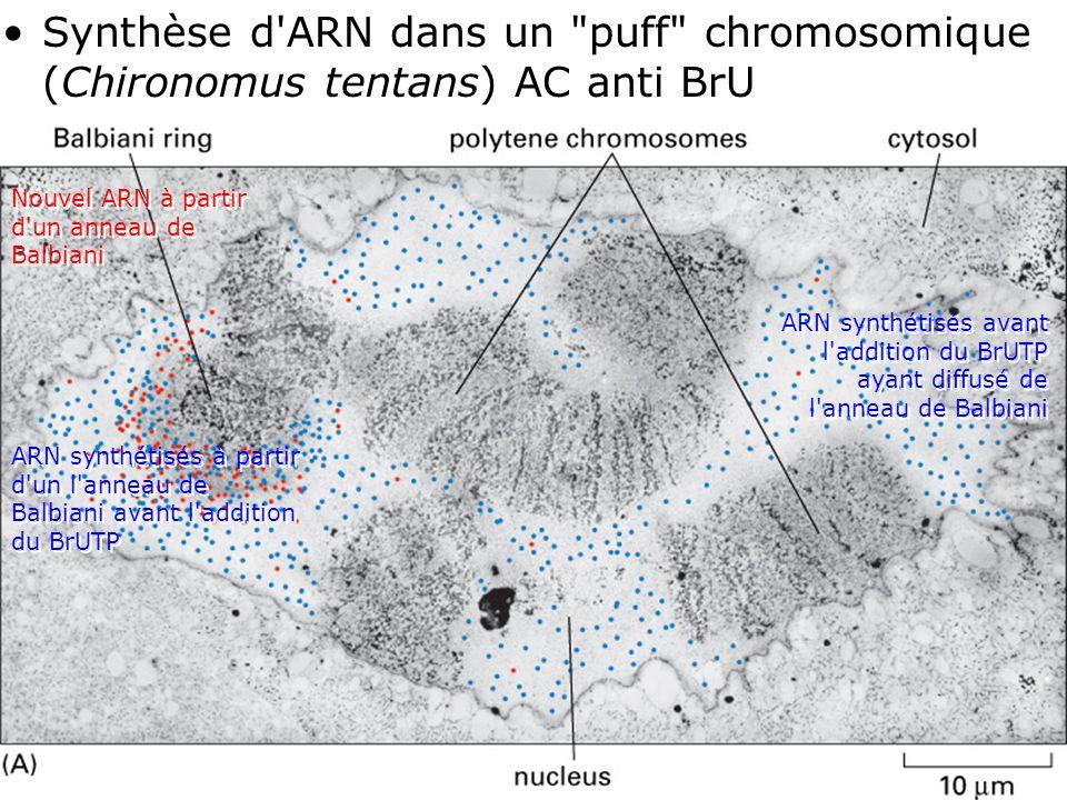 Synthèse d ARN dans un puff chromosomique (Chironomus tentans) AC anti BrU