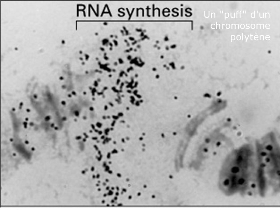 Lundi 10 décembre 2007 Un puff d un chromosome polytène Fig 4-42(B)