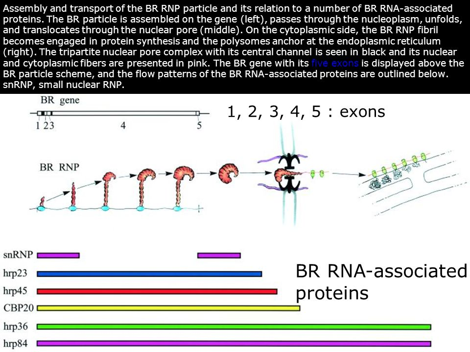 Daneholt,B2001p7012(fig3) BR RNA-associated proteins