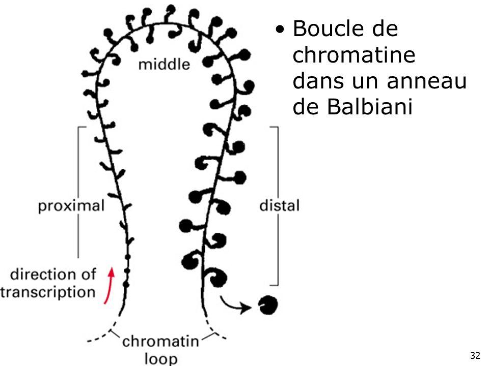 Fig 4-42(droite) Boucle de chromatine dans un anneau de Balbiani