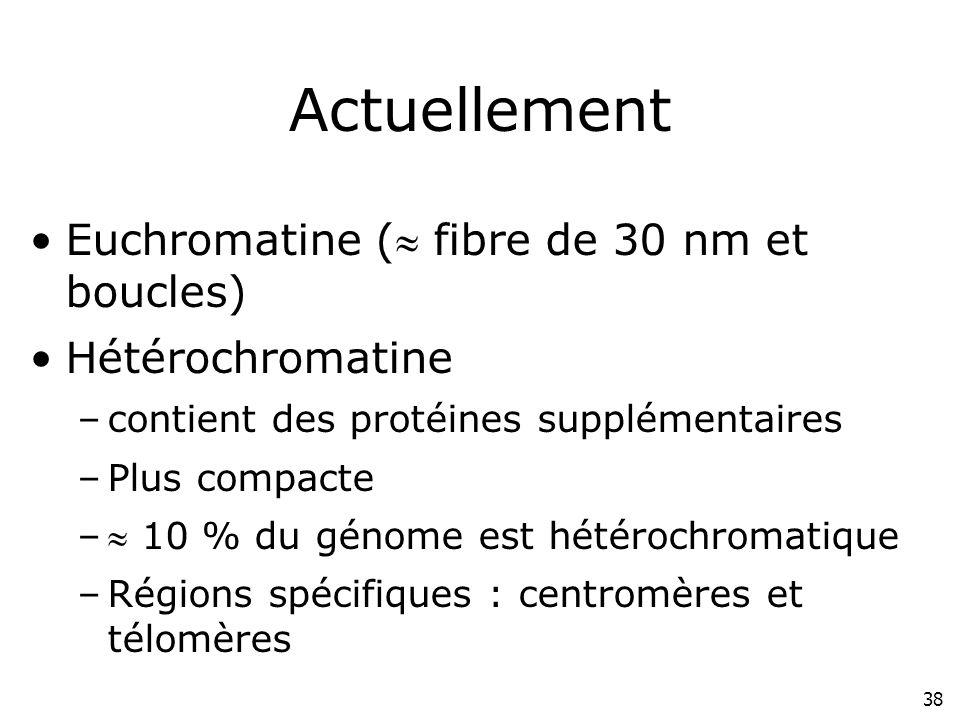 Actuellement Euchromatine ( fibre de 30 nm et boucles)