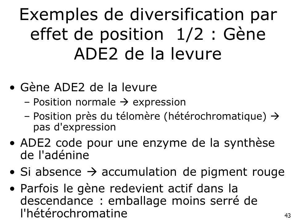 Exemples de diversification par effet de position 1/2 : Gène ADE2 de la levure