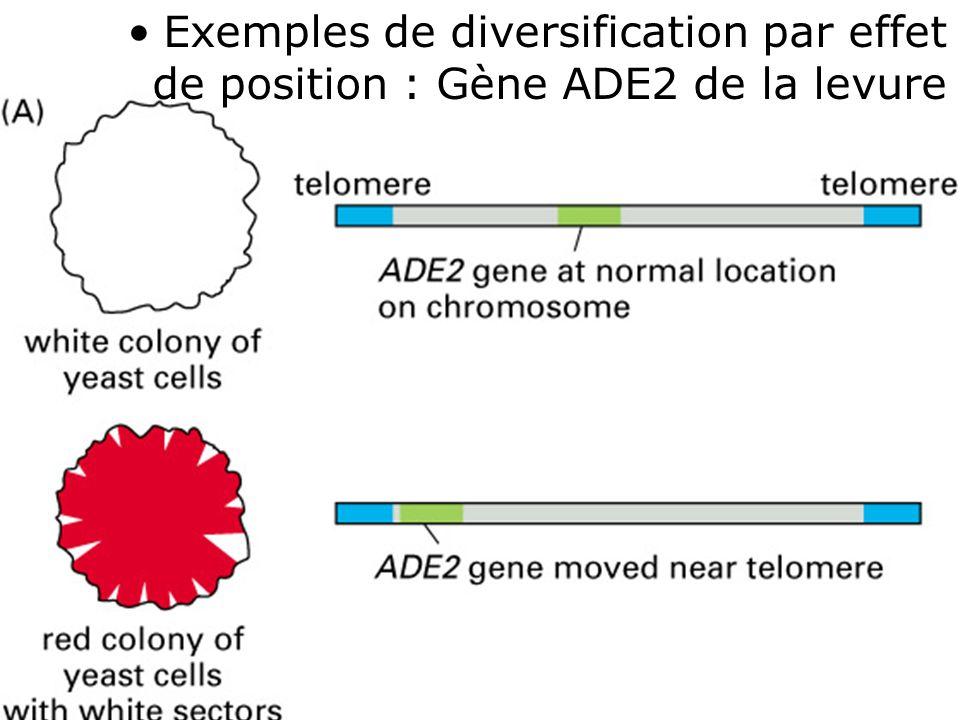 Exemples de diversification par effet de position : Gène ADE2 de la levure