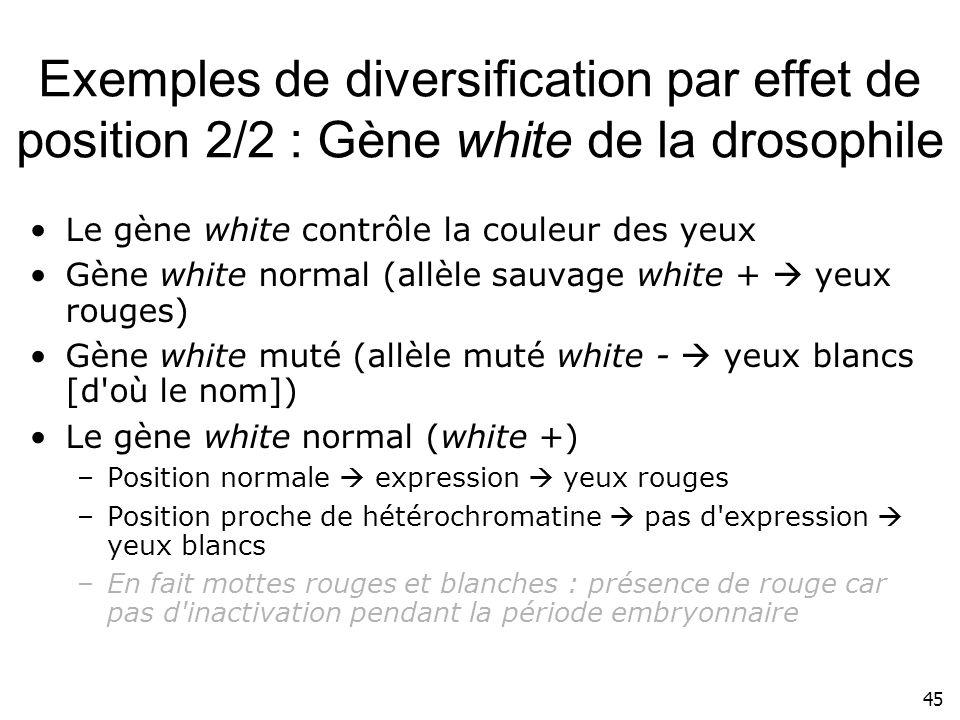 Exemples de diversification par effet de position 2/2 : Gène white de la drosophile