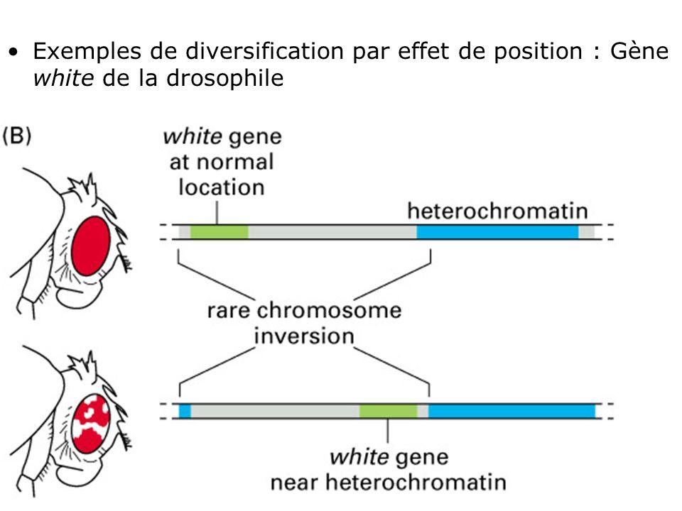 Exemples de diversification par effet de position : Gène white de la drosophile