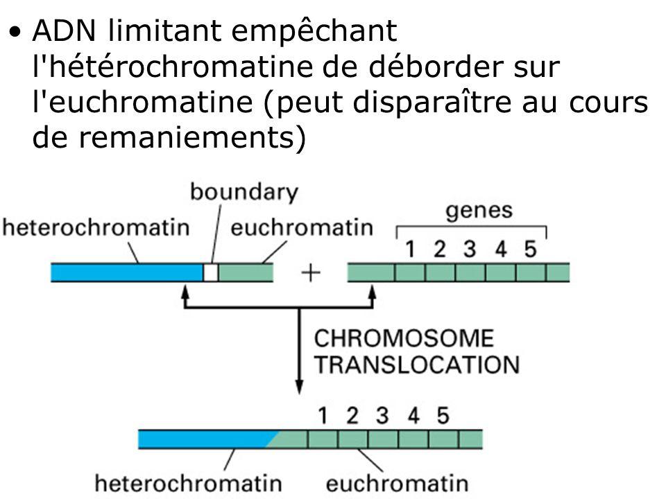 Lundi 10 décembre 2007 ADN limitant empêchant l hétérochromatine de déborder sur l euchromatine (peut disparaître au cours de remaniements)