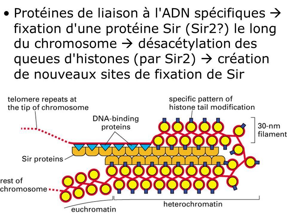 Protéines de liaison à l ADN spécifiques  fixation d une protéine Sir (Sir2 ) le long du chromosome  désacétylation des queues d histones (par Sir2)  création de nouveaux sites de fixation de Sir
