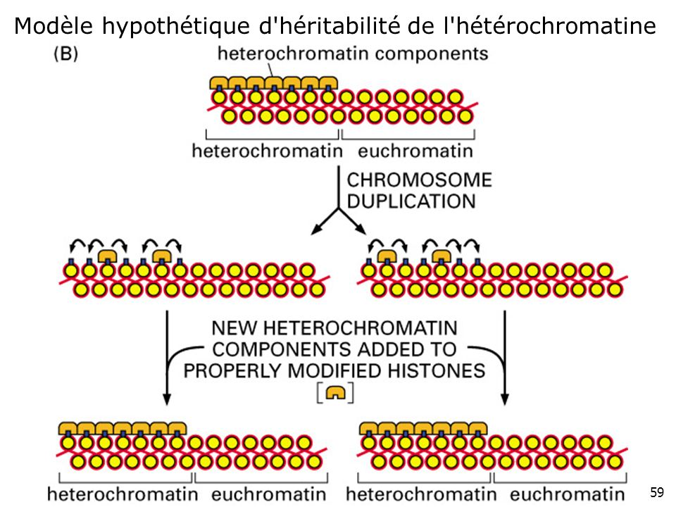 Lundi 10 décembre 2007 Modèle hypothétique d héritabilité de l hétérochromatine Fig 4-48(B) p226#6