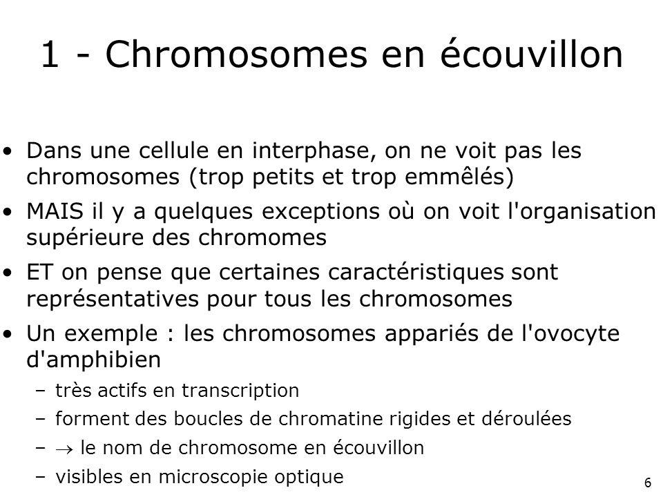 1 - Chromosomes en écouvillon